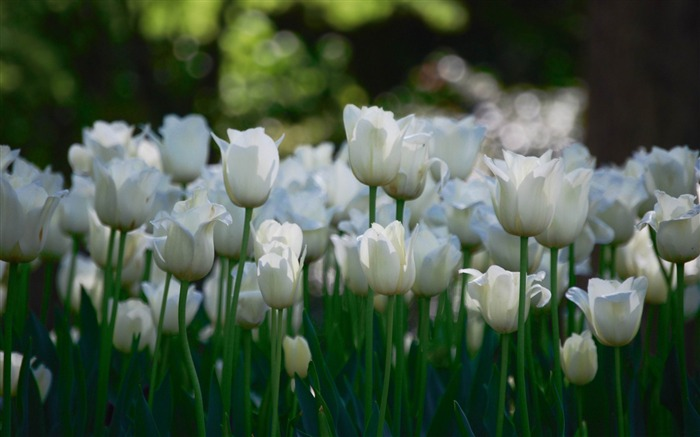 white tulips garden-flowers photography wallpaper Views:6192