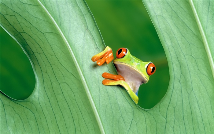 Red-eye tree frog-Mac OS Wallpaper Views:25044