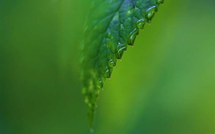 Small raindrops on the leaves-Plant wallpaper Views:3041