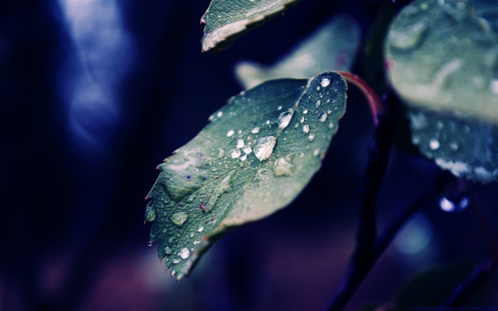 Spring rain over the leaves-Plant wallpaper Views:6996