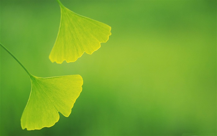 ginkgo leaves-Plant close-up wallpaper Views:11434