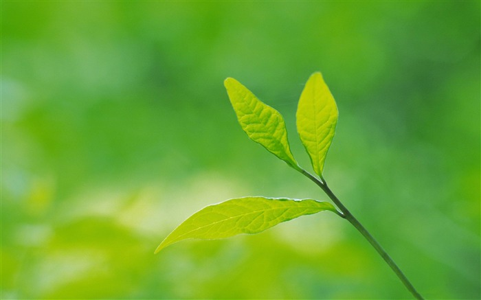 green leaves-Plant close-up wallpaper Views:10639
