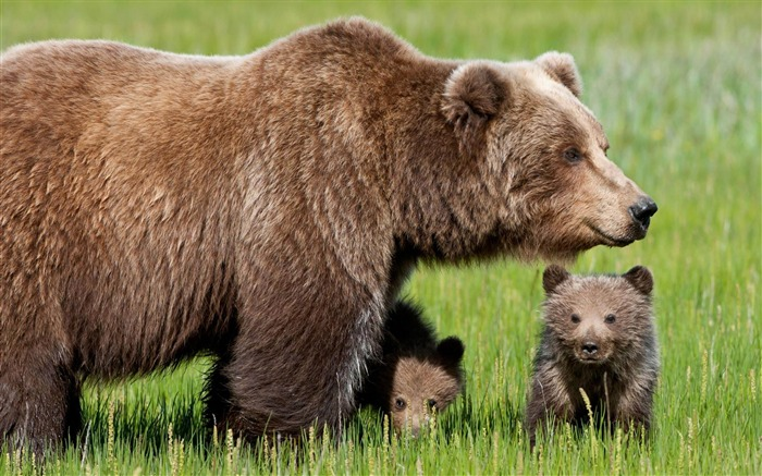 Bear-Natural animal wallpapers Views:9470