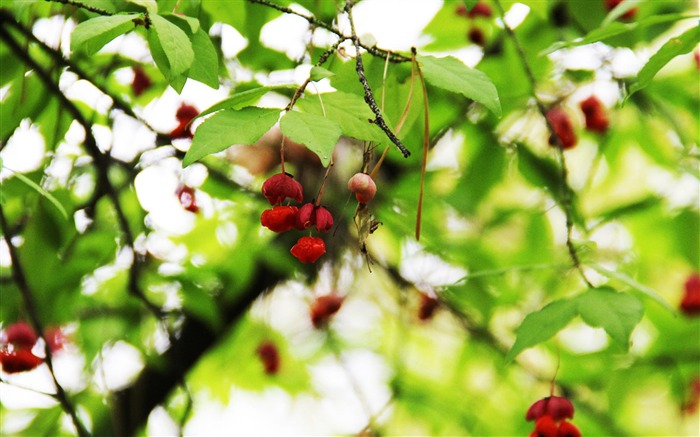 Berries-plants photography wallpaper Views:5345