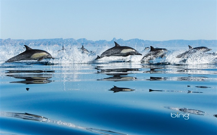 California Gulf of dolphins-Bing Wallpaper Views:54798