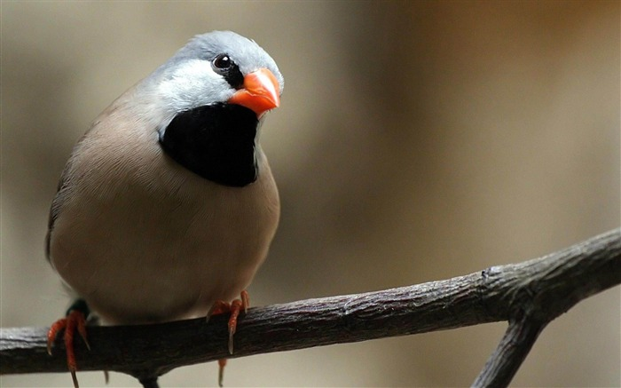 Finch Bird-Natural animal wallpapers Views:7485