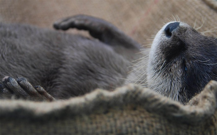 Otter Sleep-Natural animal wallpapers Views:7333