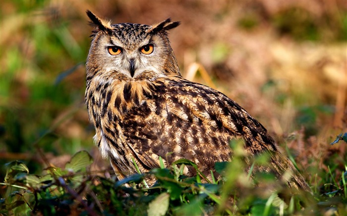 Owl-Natural animal wallpapers Views:8184