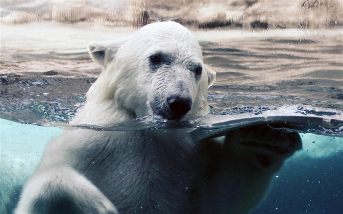 Polar Bear Swimming-Natural animal wallpapers Views:10195