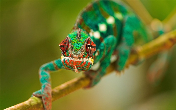 colorful chameleon-Natural animal wallpapers Views:11528