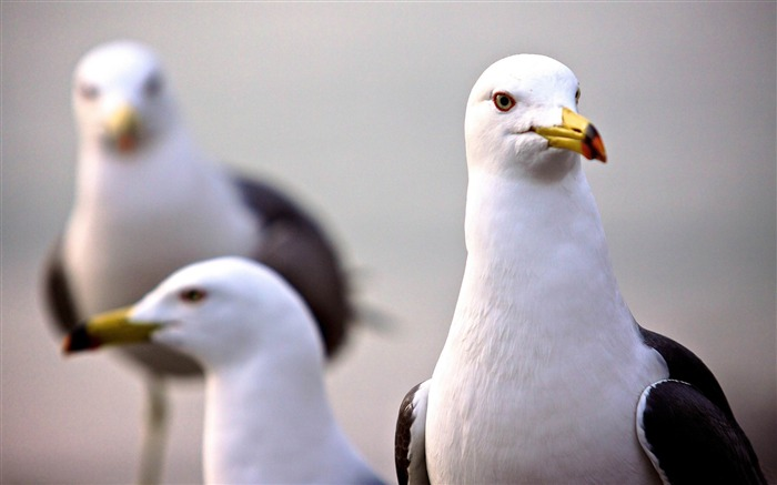 curious seagull-Natural animal wallpapers Views:5652