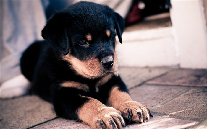 cute rottweiler puppy-Natural animal wallpapers Views:13624
