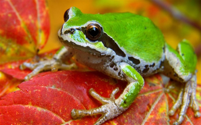 frog on leaf-Natural animal wallpapers Views:7576