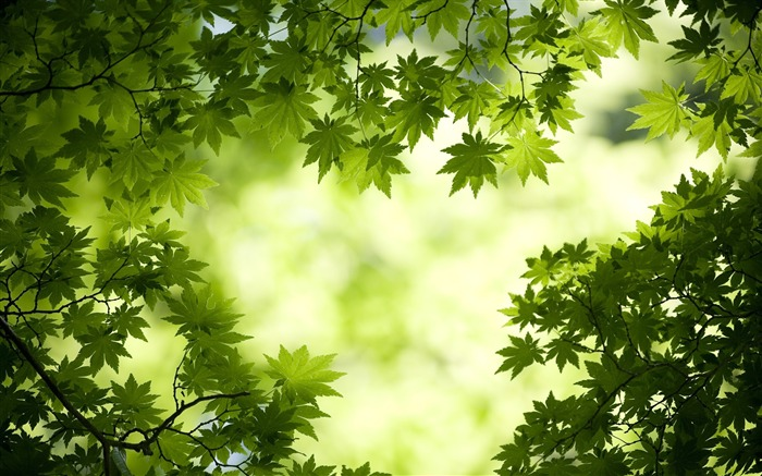 green maple leaves-plants photography wallpaper Views:14148