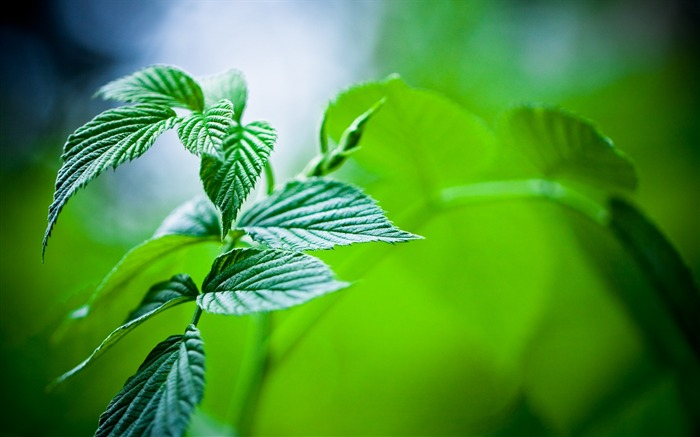 green mint leaves-plants photography wallpaper Views:8718