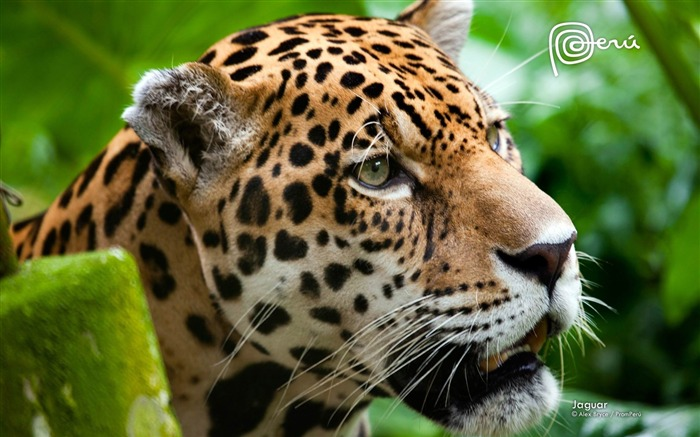 jaguar the big cat-Natural animal wallpapers Views:14593