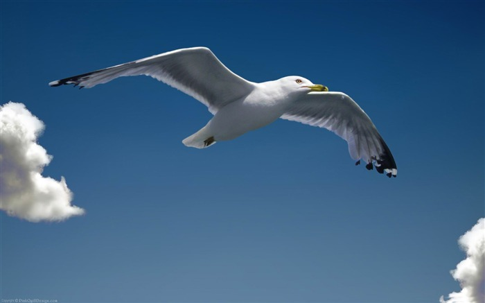 seagull-Natural animal wallpapers Views:4577