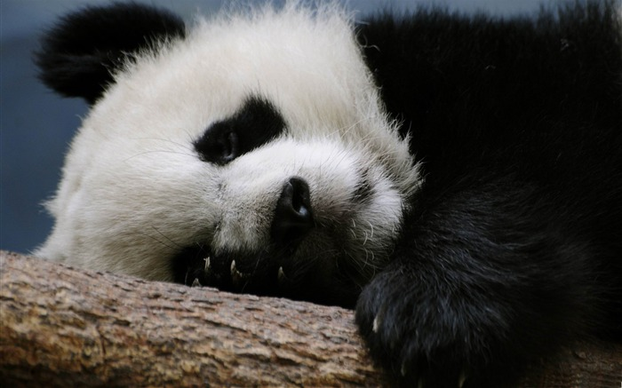 sleeping panda-Natural animal wallpapers Views:5701