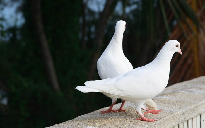 white pigeons-Natural animal wallpapers Views:7561