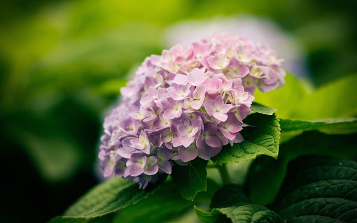 Beautiful and elegant hydrangeas Desktop Wallpaper 02 Views:5940