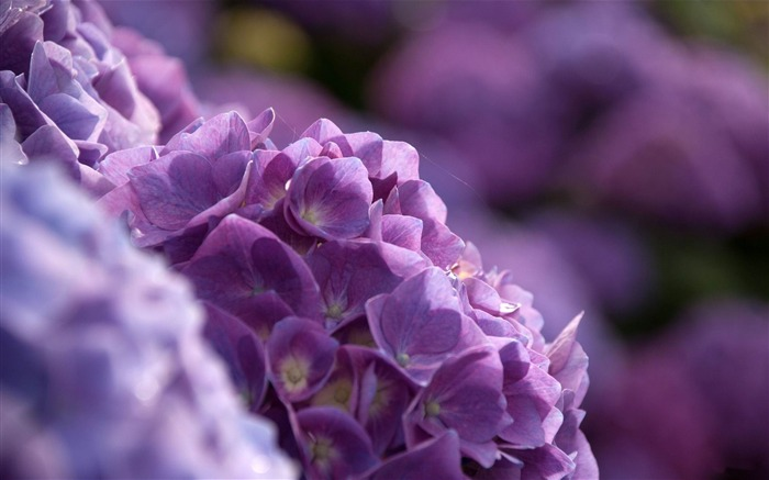 Beautiful and elegant hydrangeas Desktop Wallpaper 03 Views:4197