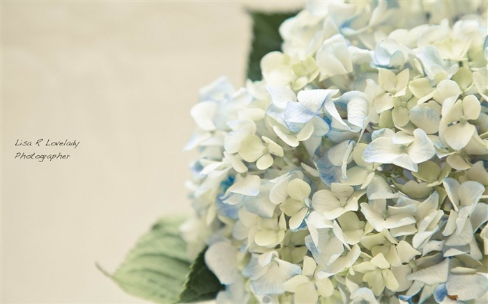 Beautiful and elegant hydrangeas Desktop Wallpaper 04 Views:6654