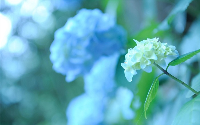 Beautiful and elegant hydrangeas Desktop Wallpaper 07 Views:11242