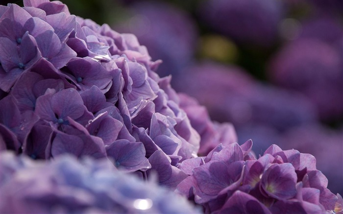 Beautiful and elegant hydrangeas Desktop Wallpaper 08 Views:4356