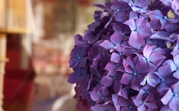 Beautiful and elegant hydrangeas Desktop Wallpaper 10 Views:4633