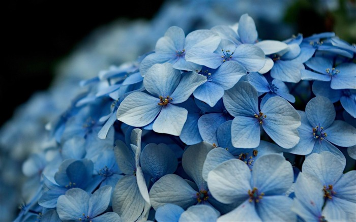 Beautiful and elegant hydrangeas Desktop Wallpaper 11 Views:5900