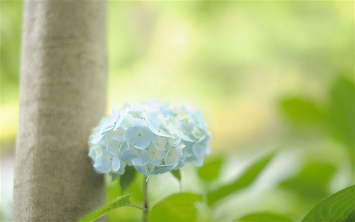 Beautiful and elegant hydrangeas Desktop Wallpaper 12 Views:4224