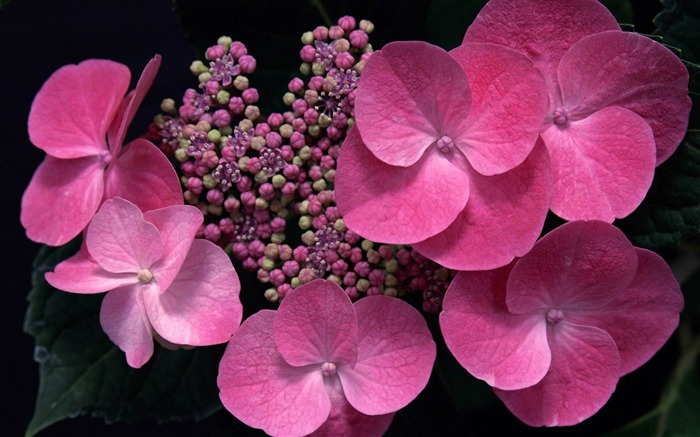 Beautiful and elegant hydrangeas Desktop Wallpaper 13 Views:3947