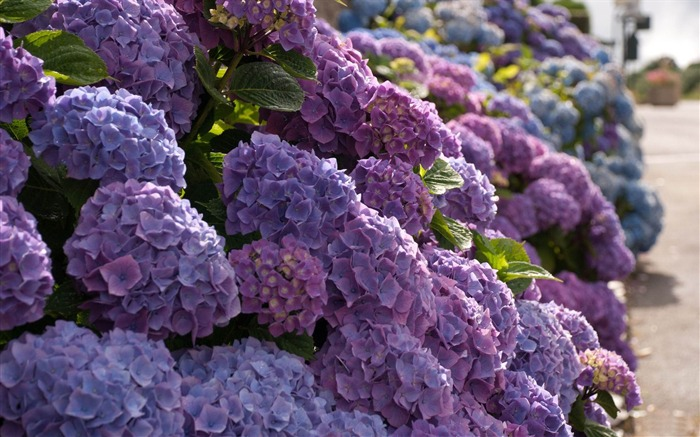 Beautiful and elegant hydrangeas Desktop Wallpaper 14 Views:6643