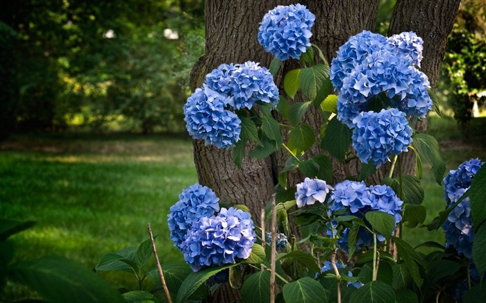 Beautiful and elegant hydrangeas Desktop Wallpaper 15 Views:5147
