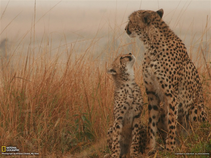 Cheetah and Cub-National Geographic photography wallpaper Views:6292