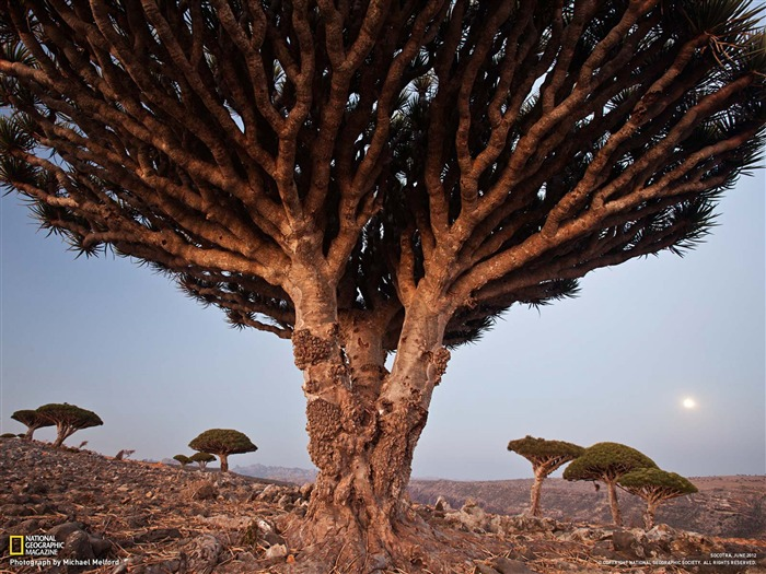 Dragon Blood Tree Socotra-National Geographic photography wallpaper Views:10137