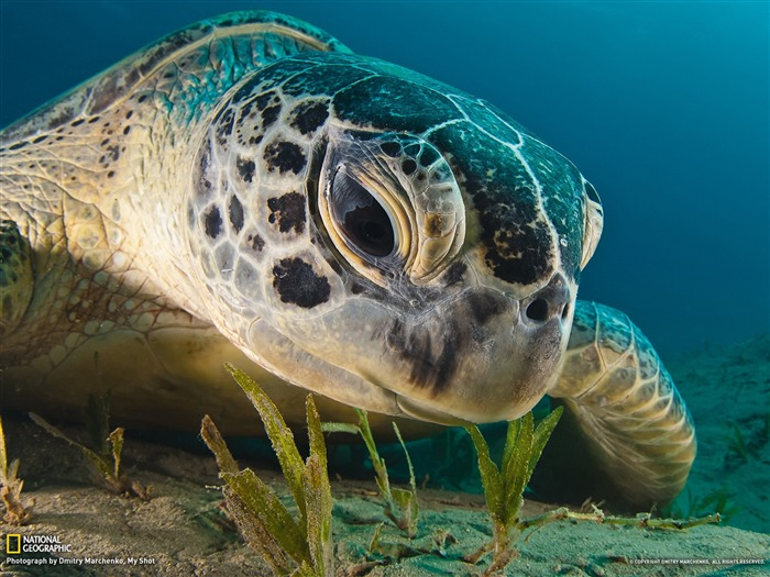 Green Sea Turtle Red Sea-National Geographic photography wallpaper Views:14277