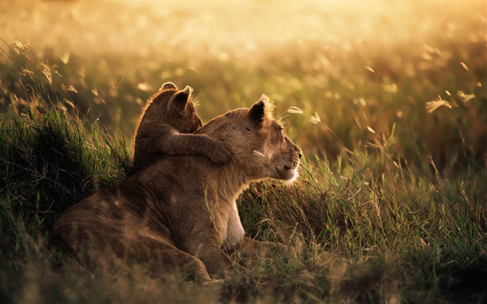 Title:Lion of the Serengeti National Park-MAC OS X Mountain Lion HD Wallpapers Views:133395