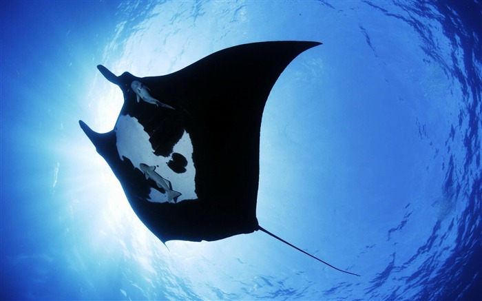 Manta Ray-animal photography wallpapers Views:6448