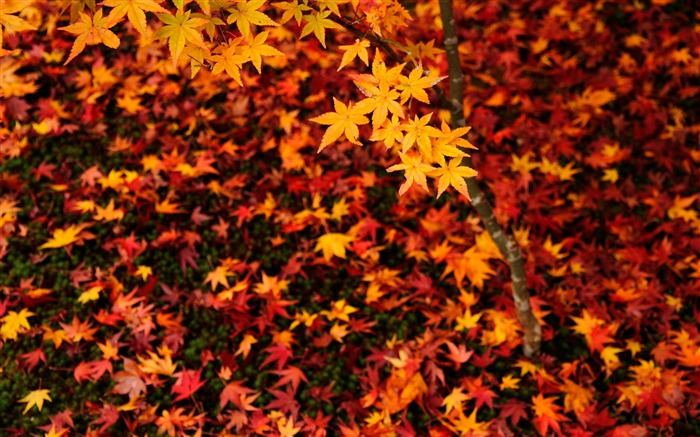 Maple Leaf-Enkoji Temple Autumn wallpapers Views:8746 Date:10/17/2012 6:10:20 PM