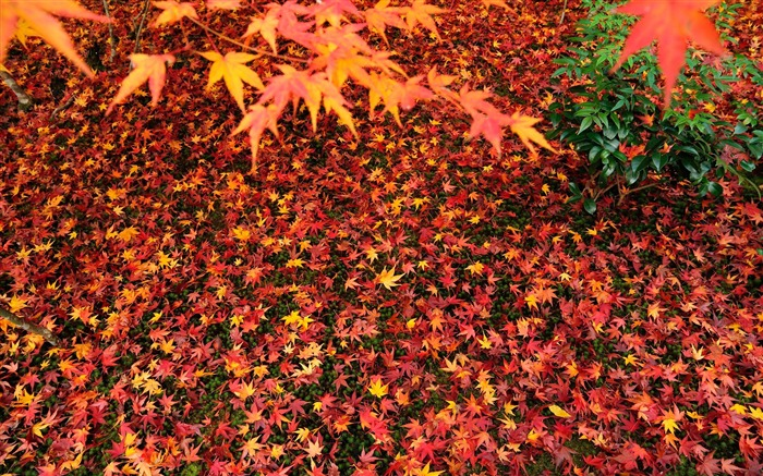 Maple leaves-Enkoji Temple Autumn wallpapers Views:7340 Date:10/17/2012 5:59:51 PM