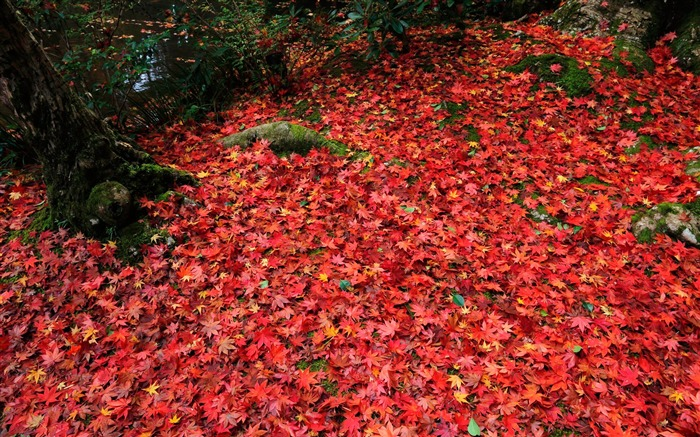 Montreal red deciduous-Enkoji Temple Autumn wallpaper Views:5057 Date:10/17/2012 5:37:40 PM