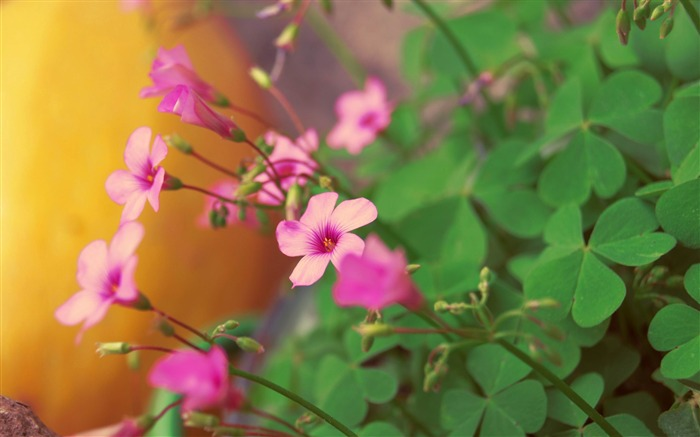 Pink flowers Bokeh-flowers photography Wallpapers Views:4685