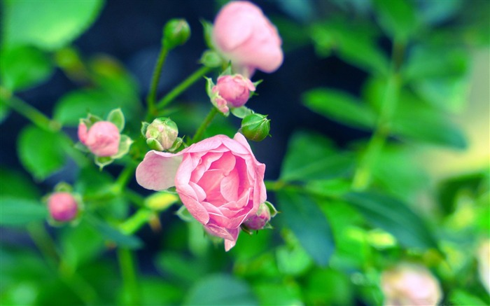 Pink rose-flowers photography Wallpapers Views:6537