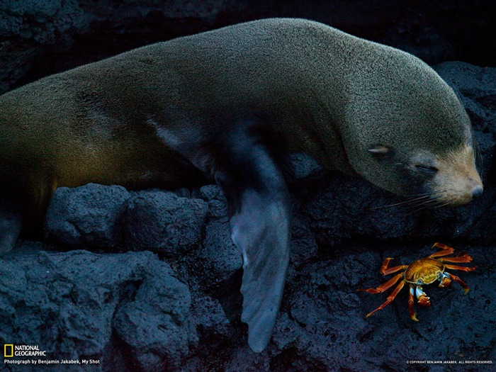 Seal and Crab Galapagos-National Geographic photography wallpaper Views:4888