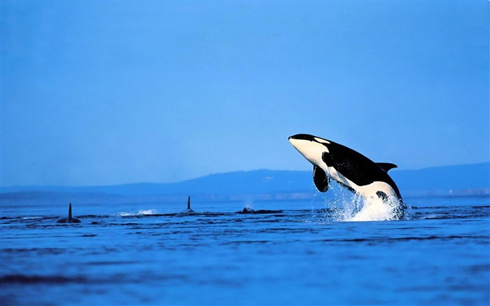 Whale Sea-animal photography wallpapers Views:11575