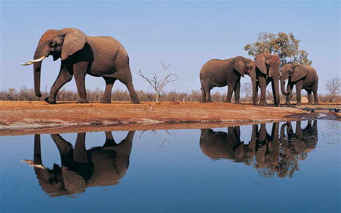 african elephants-Animal photography Wallpaper Views:6600