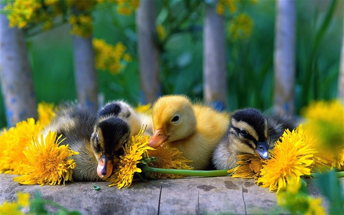 baby ducks-Animal Widescreen Wallpaper Views:8220