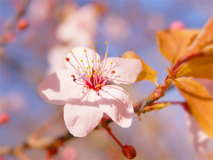 blossom-flowers photography Wallpapers Views:4059