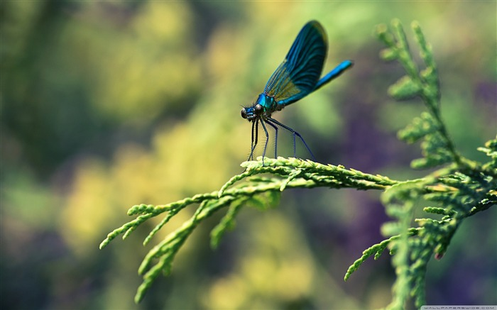 blue dragonfly-Animal Widescreen Wallpaper Views:6182